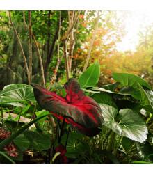 Kaládium Red Fresh - Caladium bicolor - cibuľky kaládia - 1 ks