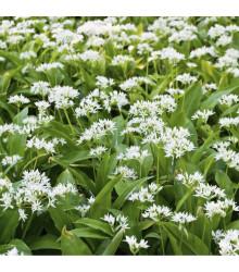 Cesnak medvedí - cibuľky - Allium ursinum - 3 ks