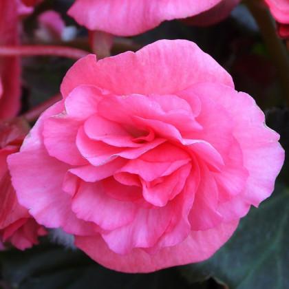 Begónia plnokvetá ružová - Begonia Pendula maxima - predaj cibuľovín - 2 ks