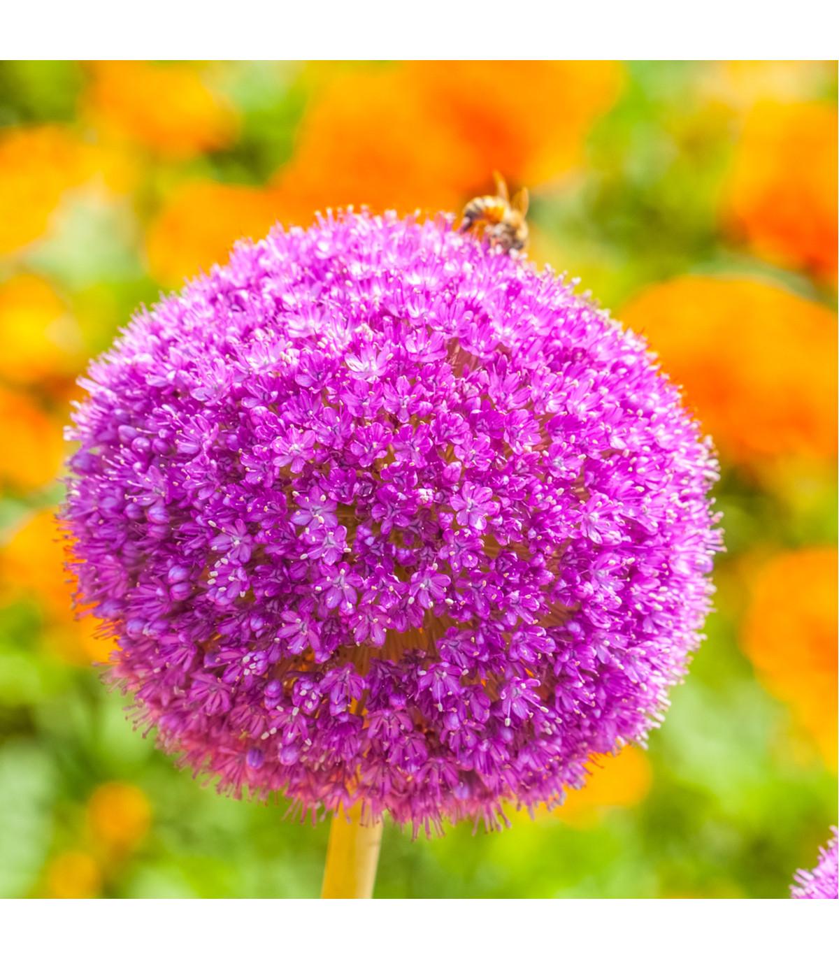 Cesnak Gladiator - Allium Gladiator - predaj cibuľovín - 1 ks