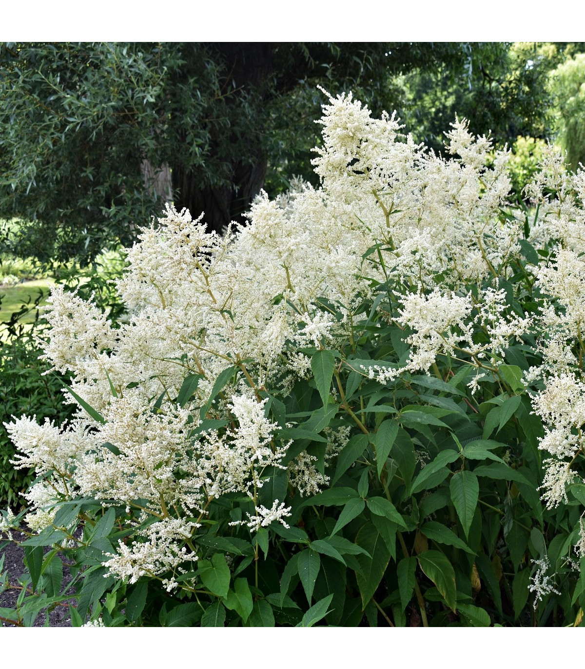 Astilba arendsii biela - Astilbe arendsii - predaj semien - 8 ks