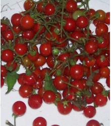 Divá paradajka červená - Lycopersicon pimpinellifolium - Semiačka - 6 ks