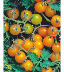 Divé paradajky žlté - Lycopersicon pimpinellifolium - Semiačka - 6 ks