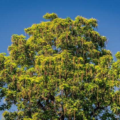 Katalpa severná - Catalpa speciosa - predaj semien - 8 ks