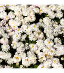 Sedmokráska stredne plnokvetá biela - Bellis perennis - semená sedmokrásky - 0,1 g