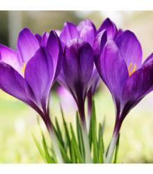 Krókus Whitewell Purple - Crocus tommasinianus - predaj cibuľovín - 3 ks