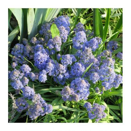 Modrica Blue Spike - Muscari aucheri - predaj cibuľovín - 5 ks
