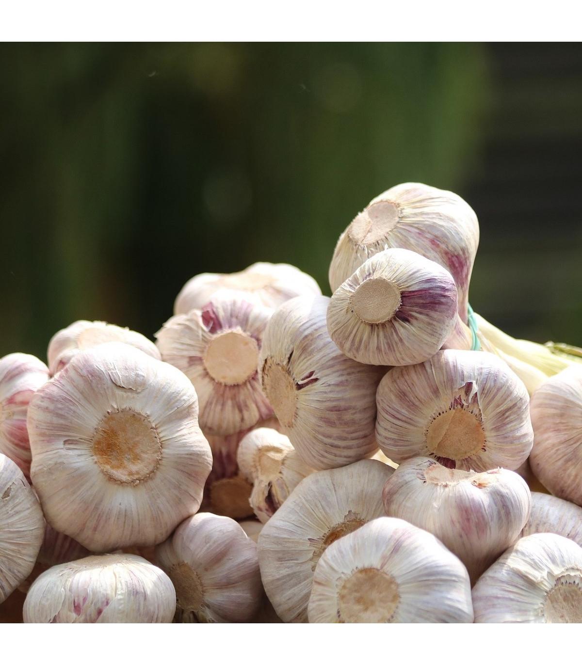 Sadbový cesnak Anton - Allium sativum - nepaličiak - predaj cibulí cesnaku - 4 ks