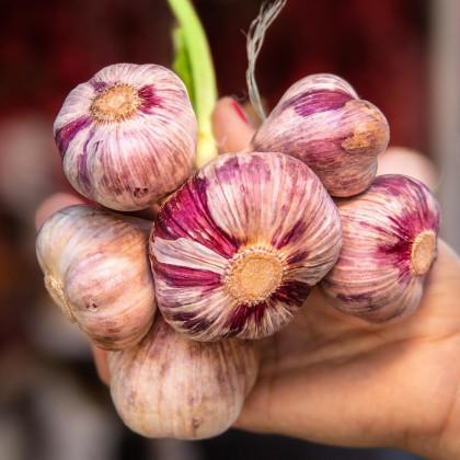 Sadbový Cesnak Slavín II paličiak - Allium sativum - predaj cibulí cesnaku - 4 ks