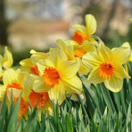Narcis Jetfire - Narcissus - predaj cibuliek narcisov - 3 ks