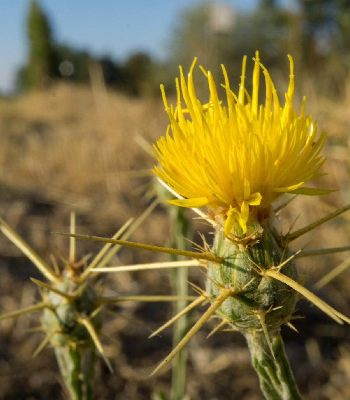 Nevädza lúčna žltá - Centaurea cyanus - predaj semien - 50 ks