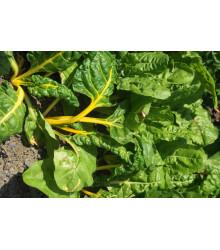 Mangold žltý Giallo - Beta vulgaris - semiačka - 30 ks