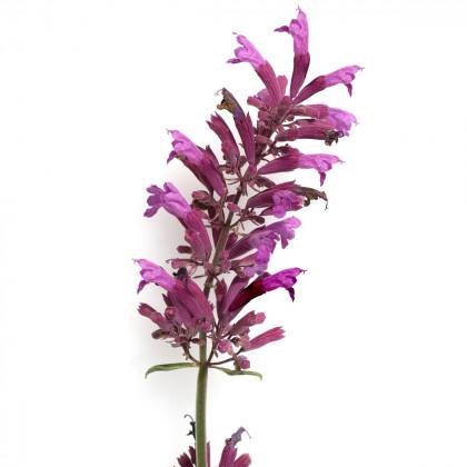 Agastache vresová kráľovná - Agastache cana - predaj semien - 30 ks
