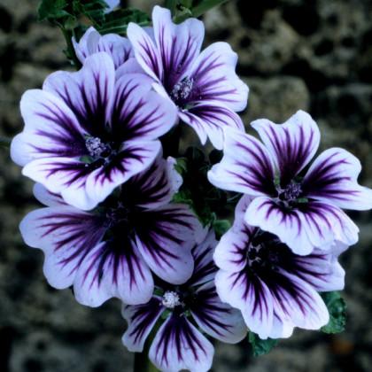 Slez lesný Zebrina - Malva sylvestris - predaj semien - 50 ks