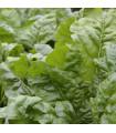 Mangold zelený Gewone - Beta vulgaris - semiačka - 200 ks