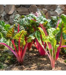 Mangold stopkatý ružový - Beta vulgaris - semiačka - 75 ks