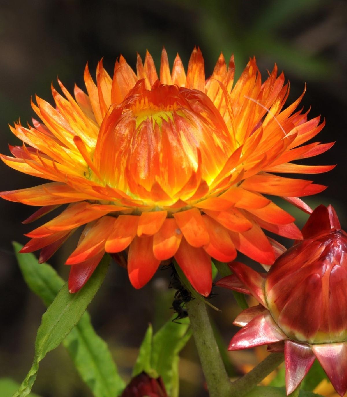 Slamiha listenatá oranžová - Helichrysum bracteatum - predaj semien - 500ks