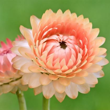 Slamiha listenatá Silvery Rose - Helichrysum bracteatum - predaj semien - 500ks