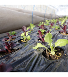Šalát na balkón - Baby leaf - Lactusa sativa - semiačka - 100 ks