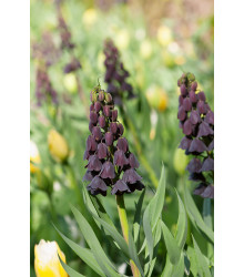 Korunkovka perzská - Fritillaria Persica - cibuľky - 1 ks