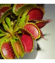 More about Mucholapka červená Redline - Dionaea - semiačka - 10 ks