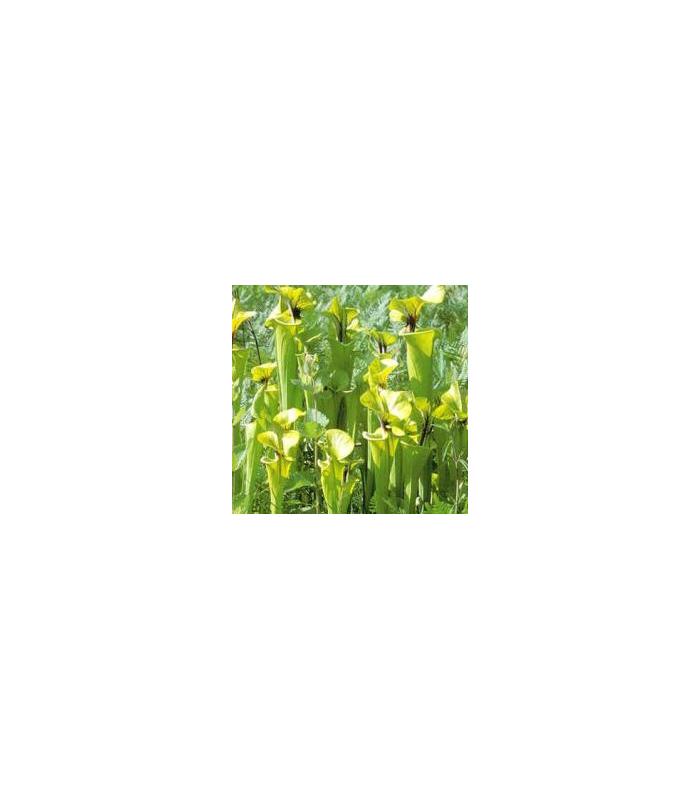 Špirlica flava var. flava - Sarracenia flava - semiačka - 10 ks