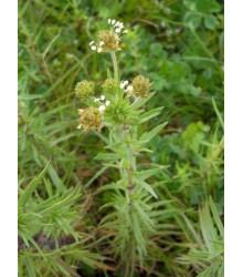 Skoroceľ indický - Plantago psyllium - semiačka - 40 ks