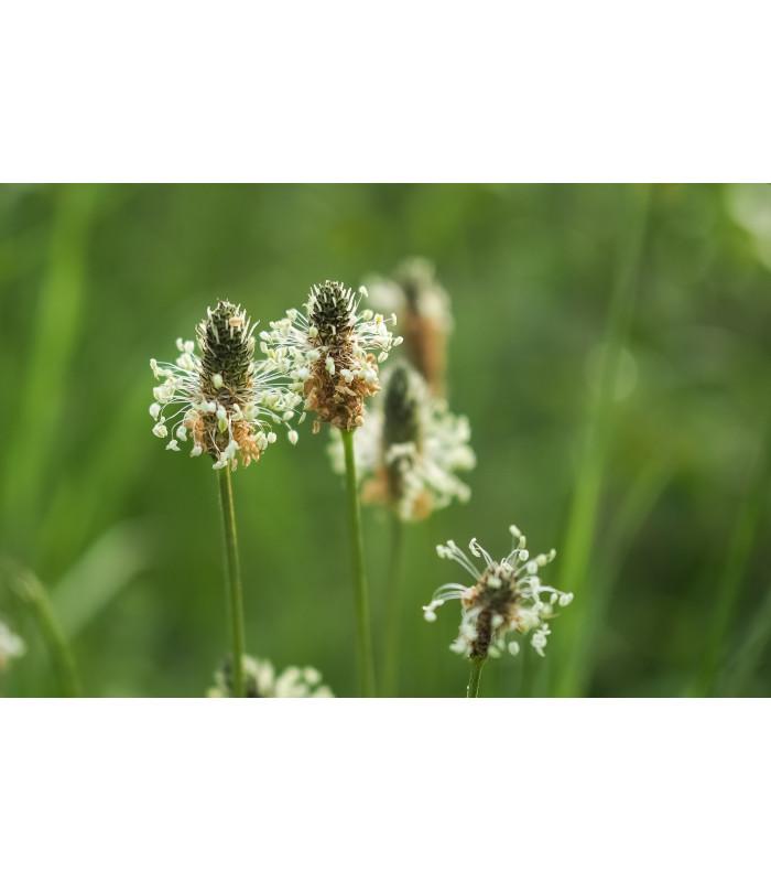 Skoroceľ kopijovitý - Plantago lanceolata - semiačka - 0,2 gr