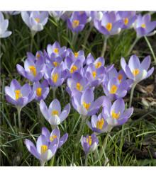 More about Krókus Barrs Purple - Crocus Tommasinianus - cibuľky - 3 ks