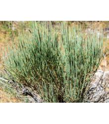 Chvojník čínsky - Ephedra sinica - semiačka - 8 ks