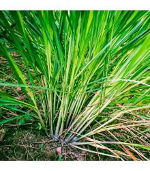 Citrónová tráva - Cymbopogon flexuosus - semiačka - 20 ks