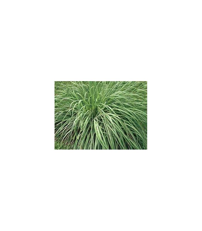 Citrónová tráva pravá - Voňatka winterová - Cymbopogon winterianus - semiačka - 20 ks
