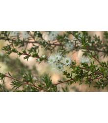 Kanuka - Biely čajovníkový strom - Kunzea ericoides - semiačka - 6 ks