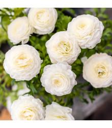 Iskerník plnokvetý biely - Ranunculus asiaticus - cibuľky - 3 ks
