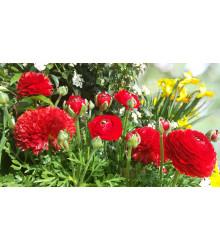 Iskerník plnokvetý červený - Ranunculus asiaticus - cibuľky - 3 ks