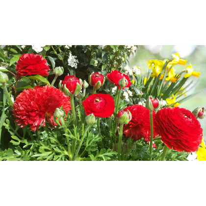 Iskerník plnokvetý červený - Ranunculus asiaticus - predaj cibuľovín - 3 ks