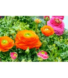 Iskerník oranžový - Ranunculus asiaticus - cibuľky - 3 ks