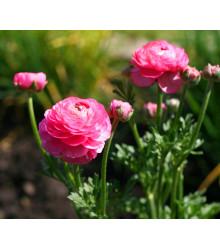 Iskerník ružový - Ranunculus asiaticus - cibuľky - 3 ks