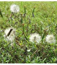 Koriander bolívijský - Porophyllum ruderale - semiačka - 5 ks