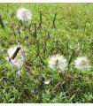 Koriander bolívijský - Porophyllum ruderale - semiačka - 10 ks