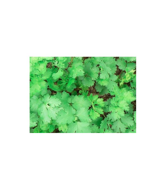 Koriander Caribe - Coriandrum sativum -semiačka - 50 ks