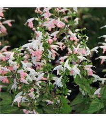 Šalvia šarlátová Hummingbird - Salvia coccinea - semiačka - 10 ks