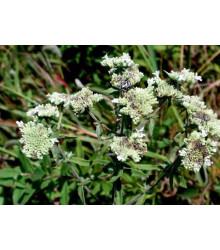 Americká horská mäta - Pycnanthemum pilosum - semiačka - 20 ks