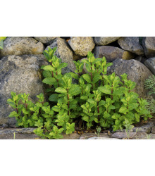 Mäta klasnatá - Mentha viridis - semiačka - 25 ks