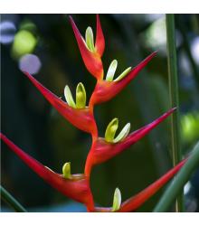 More about Helikonia farinosa červená - Heliconia farinosa - semiačka - 3 ks