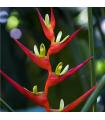 Helikonia farinosa červená - Heliconia farinosa - semiačka - 3 ks