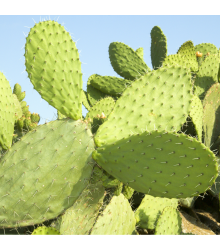 Opuncia - Indiánske figy - Opuntia compressa -semiačka - 7 ks