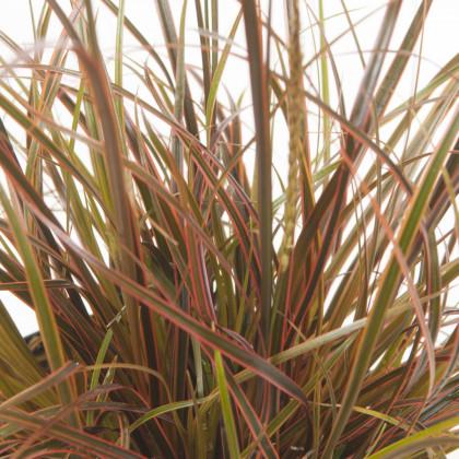 Okrasná tráva - Uncinia egmontiana - semiačka - 5 ks