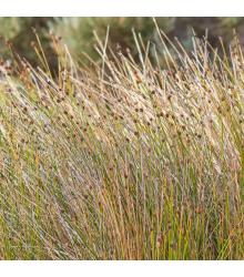 Ozdobná tráva Ficinia nodosa - semiačka - 10 ks