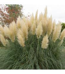 Pampas strieborný - Cortaderia selloana - semiačka - 10 ks